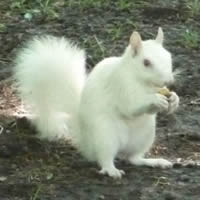 Picture of White Squirrel found in Brevard NC.